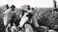 cottonfieldSM